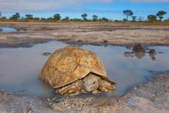 Leopard tortoise at a waterhole - stock photo