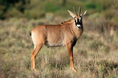 Roan antelope - stock photo