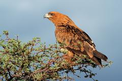 Tawny eagle perched on a tree Stock Photos