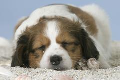 Small Dutch Waterfowl Dog, puppy, 6 weeks Kooikerhondje Stock Photos