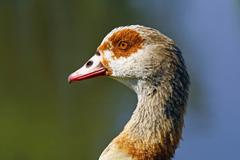 portrait of a egyptian goose (alopochen aegyptiacus) - stock photo