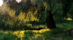 Tree in rays of evening sun Stock Footage