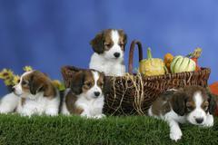 Small Dutch Waterfowl Dogs, puppies, 7 weeks Kooikerhondje - stock photo