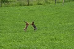 Two male common hares lepus europaeus fighting in a meadow Stock Photos