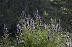 Anise hyssop in rain (agastache foeniculum) Stock Photos