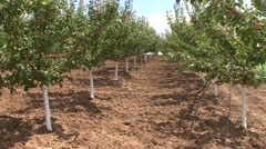 Apricot trees lined in symmetry - stock footage
