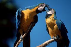 blue-and-yellow macaws, pair / (ara ararauna) - stock photo