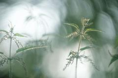 nettle, germany / (urtica dioica) - stock photo