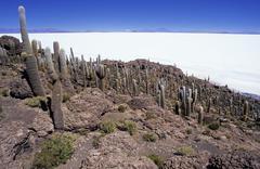 echinopsis atacamensis cacti on incahuasi island, salar de uyuni, bolivia - stock photo