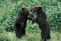 European Brown Bears, cubs, playing (Ursus arctos) Stock Photos