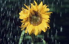 Sunflower in rain (helianthus annuus) Stock Photos