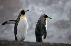 King penguins in snow storm, south georgia / (aptenodytes patagonica) Stock Photos