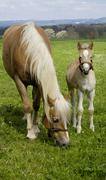 11 days old Haflinger foal with Mutter auf der Weide - stock photo