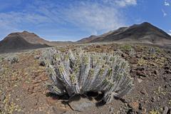 Euphorbia handiensis - endemic plant on fuerteventura ( jandia ) Stock Photos