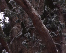 Giant sequoia zoom out General Sherman tree + pan treetops, low angle Stock Footage