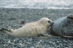 Stock Photo of grey seals, suckling cub, helgoland, schleswig-holstein, germany (halichoerus