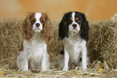 Stock Photo of Cavalier King Charles Spaniel, Blenheim and tricolor