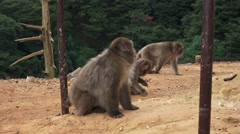 Japanese Macaque Monkeys Hang Out In Dirt 4K Stock Footage