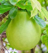 calabash tree and fruit - stock photo