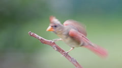 Female Northern Cardinal Stock Footage