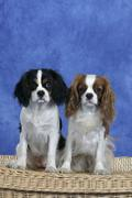 Cavalier King Charles Spaniel, Blenheim and tricolor - stock photo