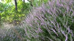 4k Lila erica flowers pan in low mountain range Harz Stock Footage