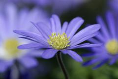 Stock Photo of anemones / (anemone blanda)