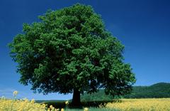 lime tree in rape field, lower saxony, germany / (tilia spec.) - stock photo