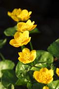 blossoms of caltha palustris - stock photo