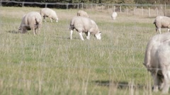 Sheep Through a Fence in English Field 2 Stock Footage