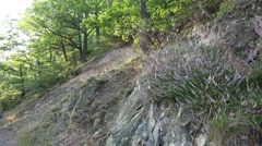 4k Wild lila erica plants pan in low mountain forest Stock Footage