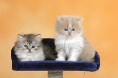 Persian Cat, kittens, 6 weeks Kuvituskuvat