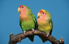 Peach-faced Lovebirds (Agapornis roseicollis) - stock photo