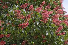Red horsechestnut blossom aesculus x carnea germany Stock Photos