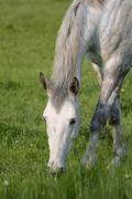 horse dapple grey gray - stock photo