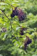 elder berries, north rhine-westphalia, germany (sambucus nigra) - stock photo