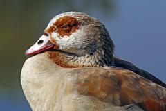 Stock Photo of portrait of a egyptian goose (alopochen aegyptiacus)