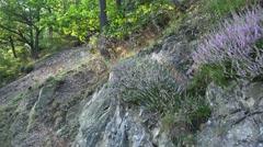 4k Erica plants growing on rocks in low mountain forest Stock Footage