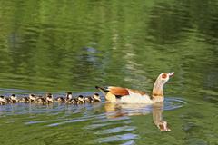 Egyptian goose (alopochen aegyptiacus) with chicks Stock Photos