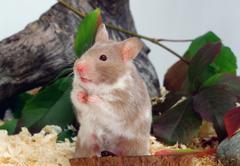 Stock Photo of golden hamster / (mesocricetus auratus)