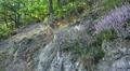 Erica plants growing on rocks in low mountain forest HD Footage