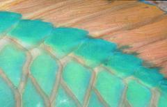 parrotfish, detail, carribean sea / (scarus spec.) - stock photo