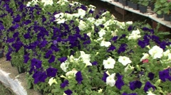 Bedding plants, flowers in greenhouse Stock Footage