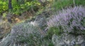 4k Still view lilac erica flowers in rocky low mountain range forest 4k or 4k+ Resolution