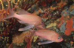 Swallow-tail sea perches, mediterranean sea / (anthias anthias) Stock Photos