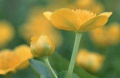 marsh marigold, schleswig-holstein, germany / (caltha palustris) - stock photo