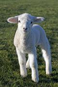 Lamb, domestic sheep (ovis aries) in a field on a north sea dike, dithmarsche Kuvituskuvat