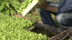 Tobacco seedlings in the greenhouse showing a table with seedlings Stock Footage