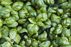 Basil (ocimum basilicum) Stock Photos