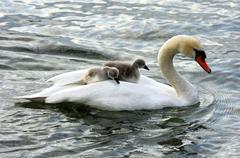 Mute swan and fledglings, cygnets on its back (cygnus olor) Stock Photos